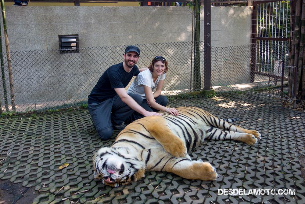 Acariciando tigre.